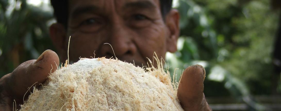 Asiatischer älterer Mann hält stolz die geernteten Kokosnuss in den Händen.