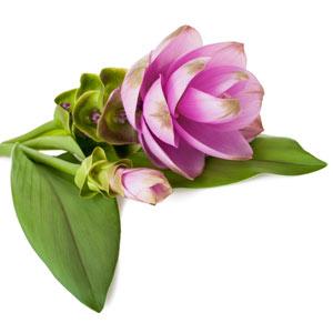 Rosa Artischocken-Blüte mit grünen Blätter, freigestellt.