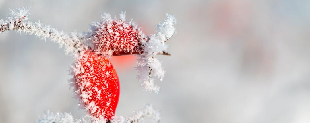 Rote Hagebutten im Winter mit Schnee auf den Früchten.