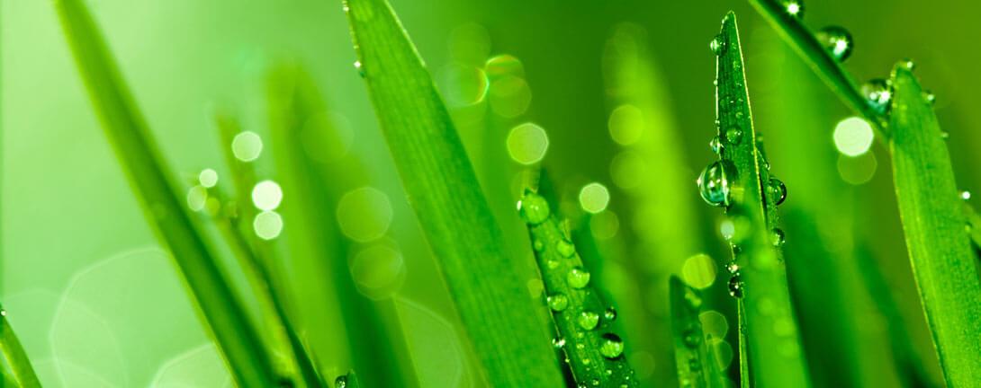 Frisches grasgrünes Gerstengras mit Tau an den Blättern.