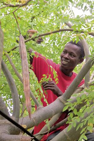 Junger afrikanische Mann erntet reife Moringafrüchte.