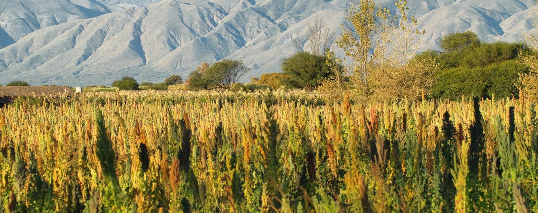 Quinoafeld im südamerikanischen Hochland. Im Hintergrund sind Berge zu sehen.