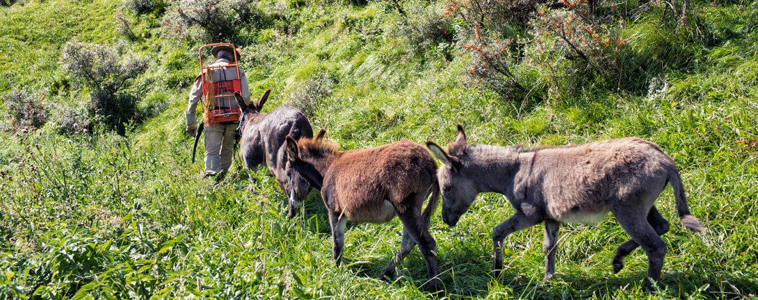 Eselinnen in den Schweizer Bergen beim Tragen von Sanddornbeeren.